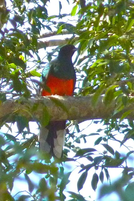 March is the best time to find nesting pairs of elegant trogon and eared quetzals in the depths of the canyon
